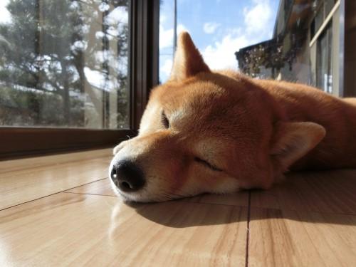 愛犬の床施工後のサンルームでひなたぼっこ